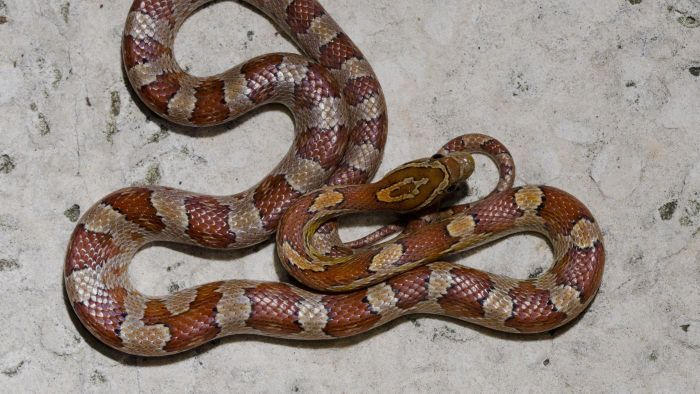 What Are the Colors of the Corn Snake?