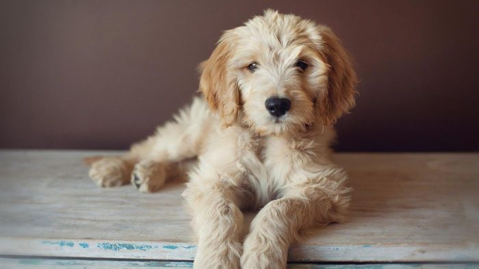 Is the Comfort Retriever a Registered Dog Breed?