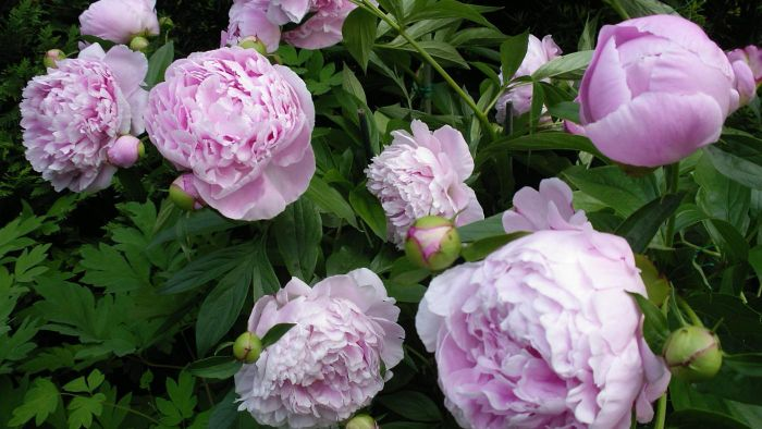 What Are Some Common Peony Diseases?