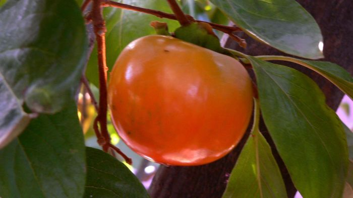 What Is a Common Persimmon?