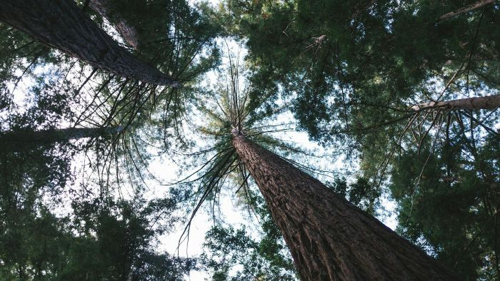 What Are Common Facts About Redwood Trees?