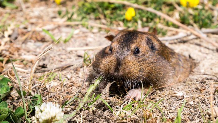 How Do You Control Pocket Gophers?