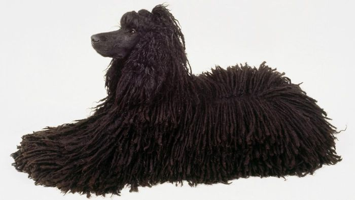 What Is a Corded Poodle?