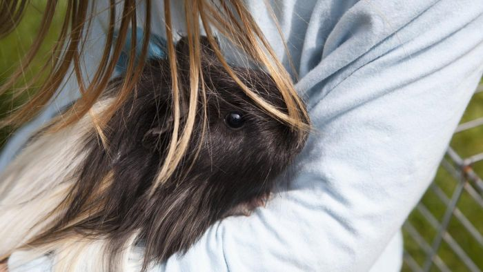 What Is a Coronet Guinea Pig?