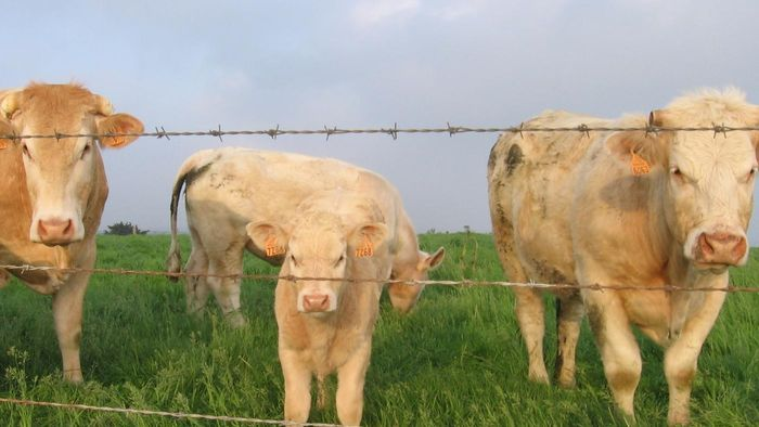 Are cows available for sale online?