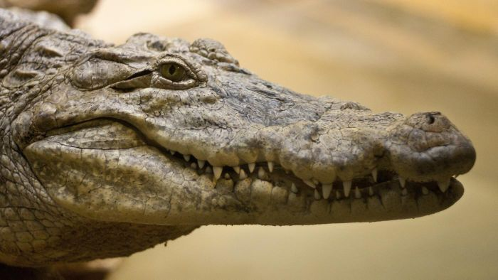 How Do Crocodiles Reproduce?
