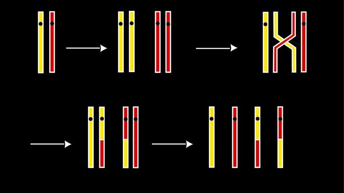 When Does Crossing Over Occur in Cell Division?