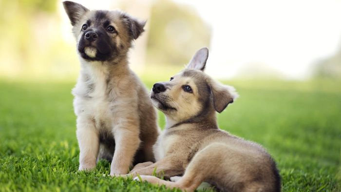 Where Do You Find Cute German Shepherd Puppies?