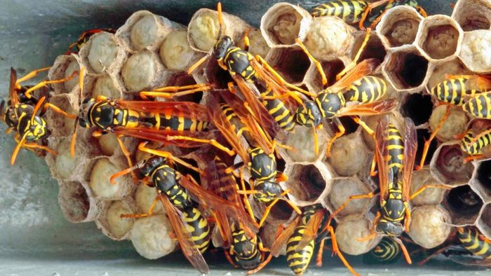 How Do You Destroy Wasp Nests?