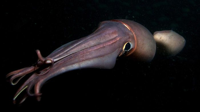 What is a devil squid?