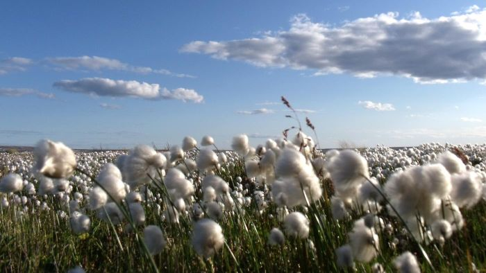 Where Did Cotton Originate From?