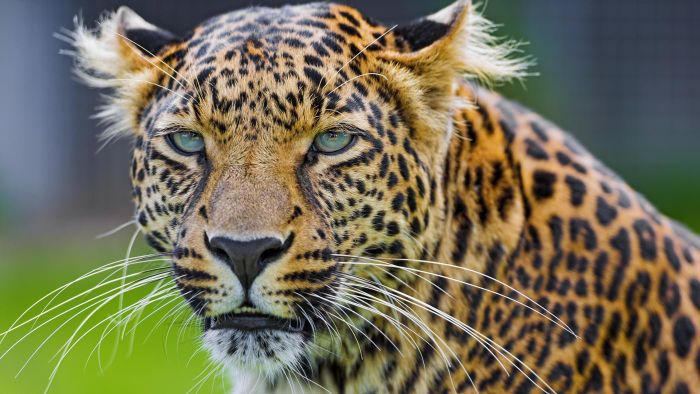 What Is the Difference Between a Cheetah and a Leopard?
