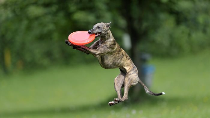 What Is the Difference Between Italian Greyhounds and Whippets?
