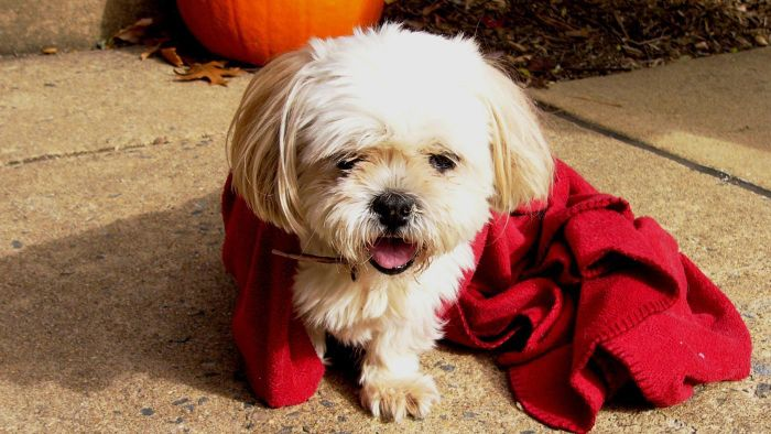 What Is the Difference Between a Lhasa Apso and a Shih Tzu?