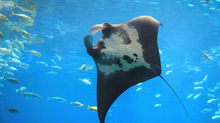 What Is the Difference Between a Manta Ray and a Stingray?