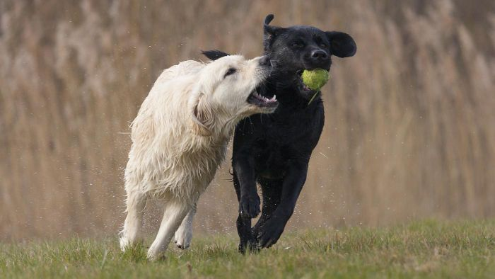 What Is the Difference in a Labrador Vs. a Golden Retriever?