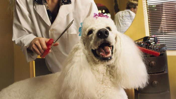 What Are Some Different Grooming Cuts for Poodles?