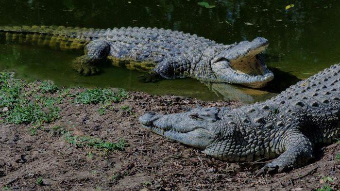What Are the Different Species of Crocodiles?