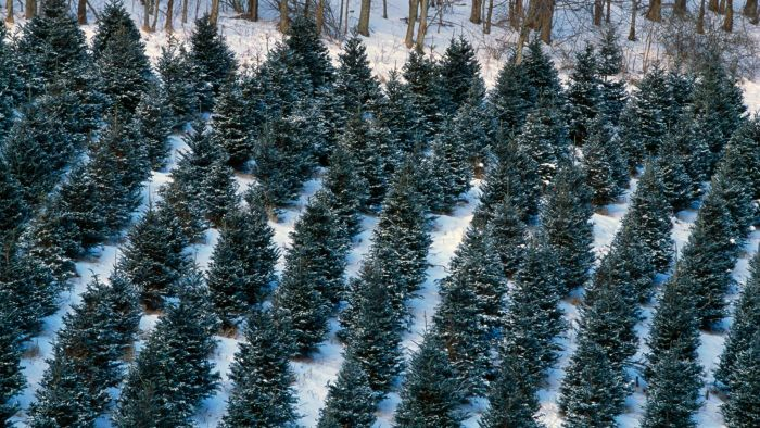 What Are the Different Types of Christmas Trees?