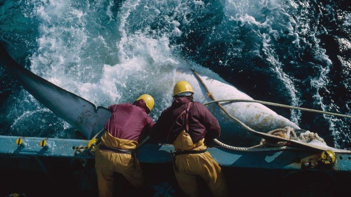 What Are the Disadvantages of Whaling?