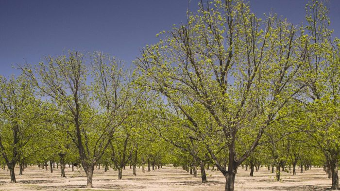 What Diseases Affect Pecan Trees?