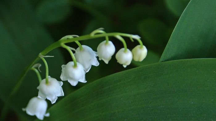 How do you divide a lily of the valley plant?