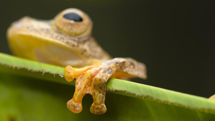 Do frogs have webbed feet?