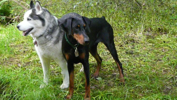 What Is a Doberman and Husky Mix?