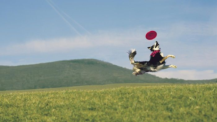 What Are the Best Dog Breeds for Frisbee Catching?