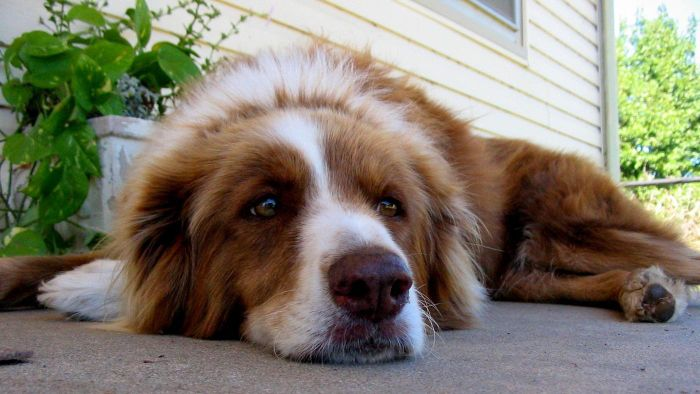 Where Are a Dog's Adrenal Glands Located?