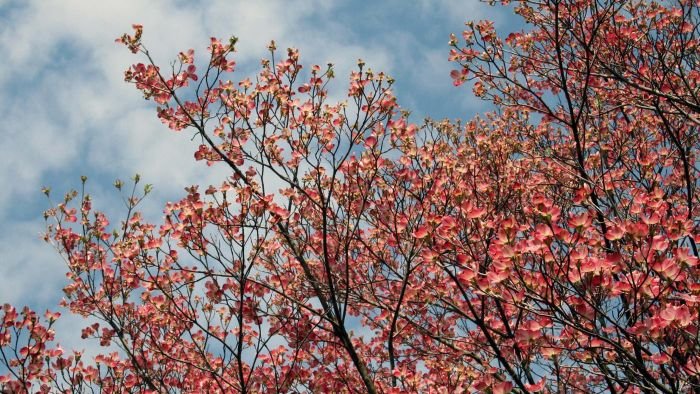 What Are Some Dogwood Tree Varieties?
