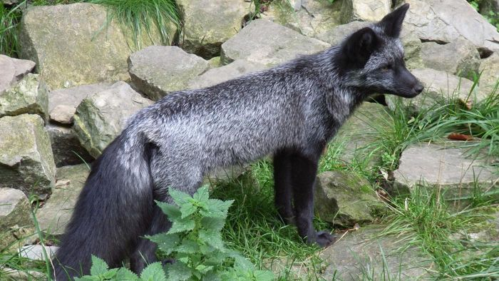 What Is a Domestic Silver Fox?