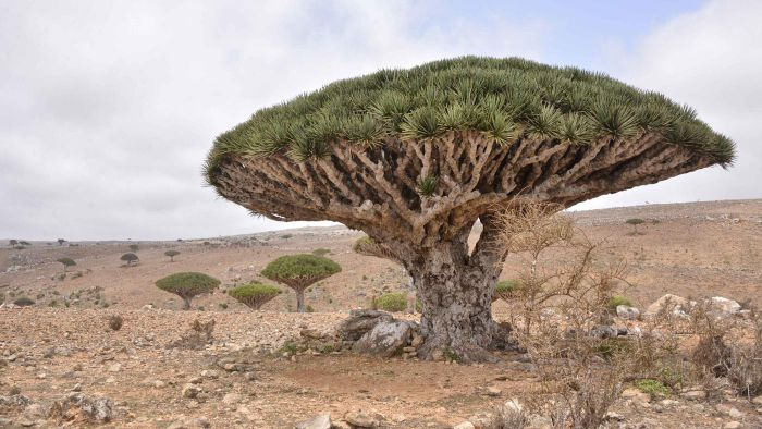 What Is a Dragon's Blood Tree?