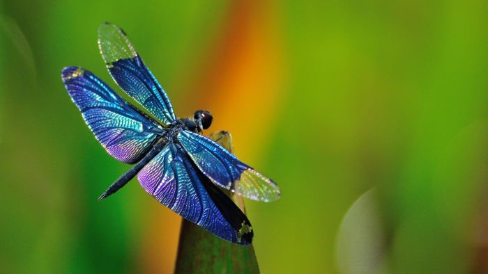 What Is the Scientific Name of the Dragonfly?