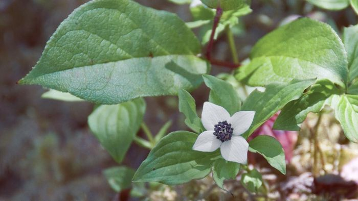 What Is a Dwarf Dogwood Tree?
