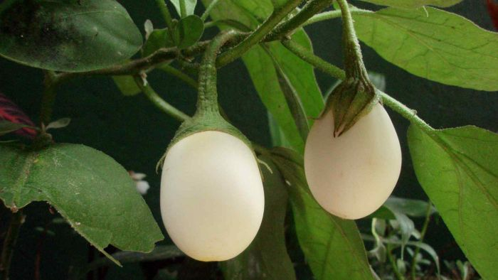 What is an Easter Egg eggplant?