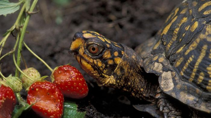 What Do Eastern Box Turtles Eat?