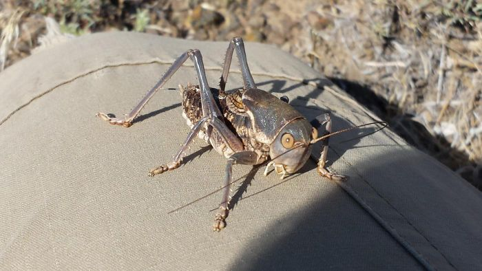 What Eats Crickets?