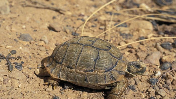 What Is an Egyptian Tortoise?