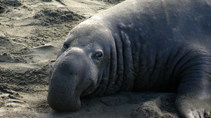 What Are Some Facts About the Elephant Seals in Cambria?