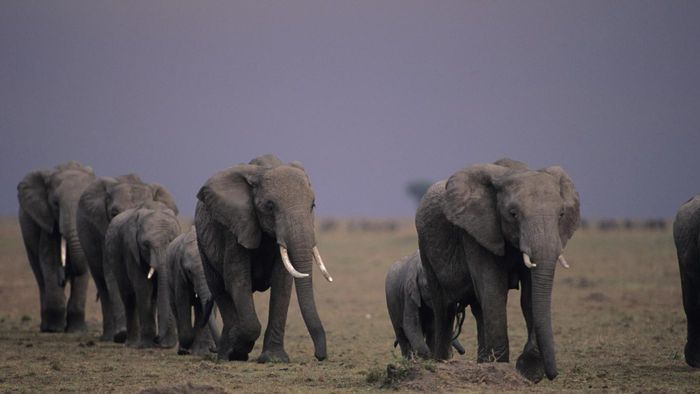 Do Elephants Migrate?