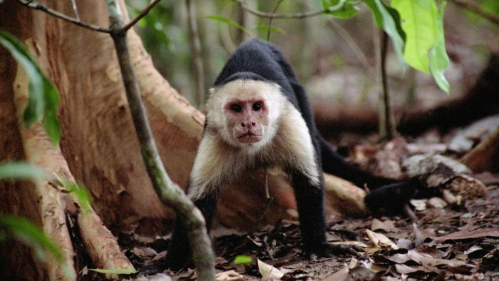 What Are the Enemies of Spider Monkeys?