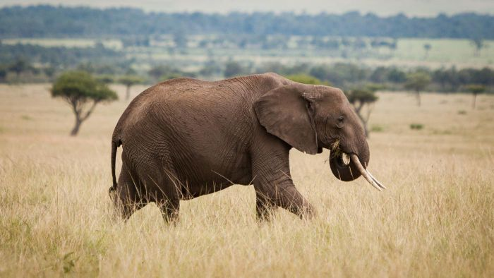 What Is an Enemy of the African Elephant?