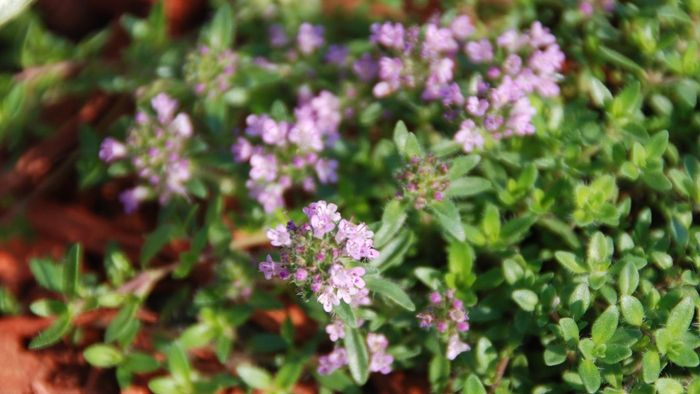What Is English Creeping Thyme?