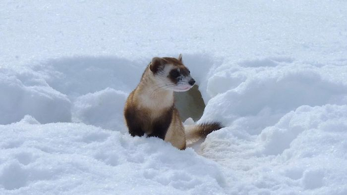What Are Examples of Ferret Breeds?