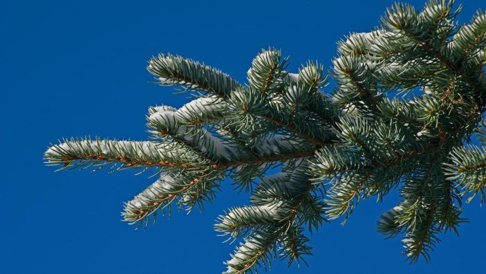 How Far Should a Spruce Tree Be Planted From a House Foundation?