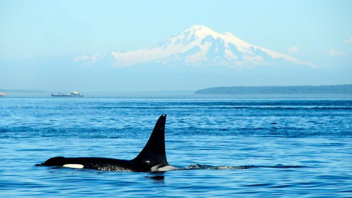 How Fast Can a Killer Whale Swim?