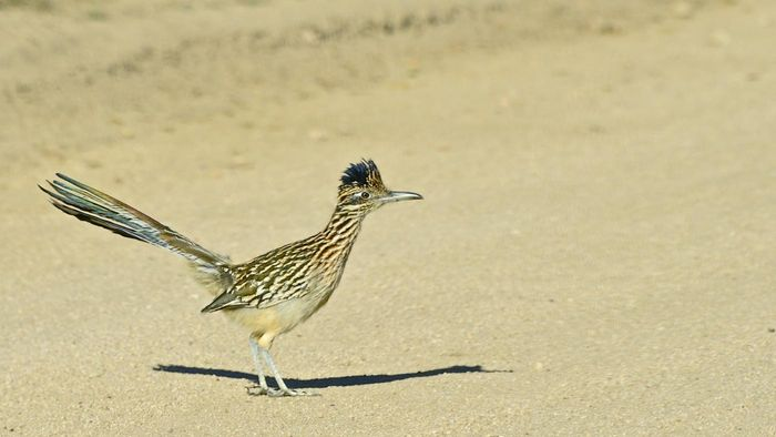 How Fast Can a Roadrunner Run?