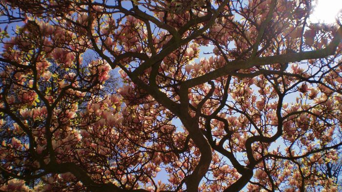 How fast does a magnolia tree grow?