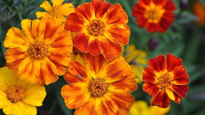How Fast Do Marigolds Grow?